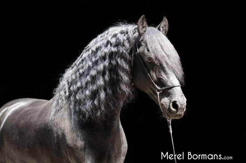 Een zwart paard op een zwarte achtergrond zorgt voor een uitdagende blackfoto
